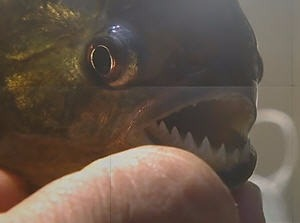 식인 물고기 피라니아 /사진= YTN보도화면