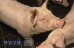 전북 김제 구제역 의심 신고 전북 김제 구제역 의심 신고 / 사진 = SBS 방송 캡처