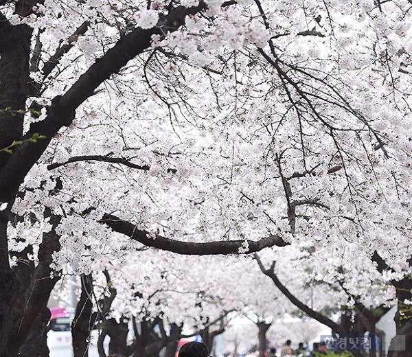 진해 군항제 벚꽃 /사진=한경DB