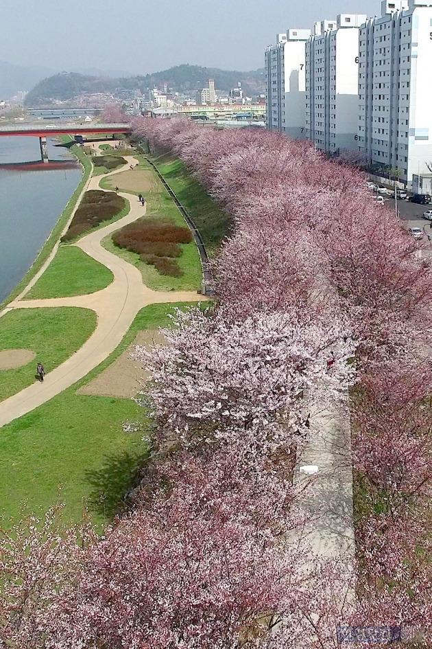 긴 산책로 따라 흐드러지게 핀 벚꽃.