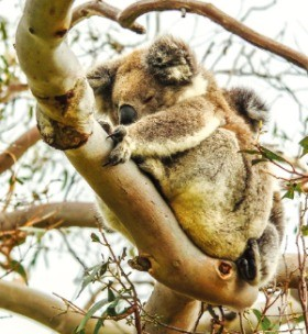 호주를 대표하는 동물인 코알라