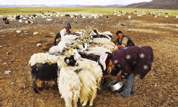염소젖을 짜는 유목민들