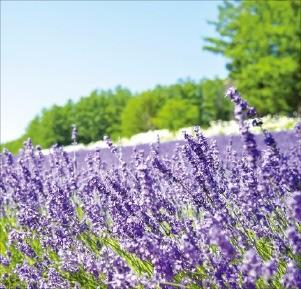 홋카이도의 라벤더 꽃밭