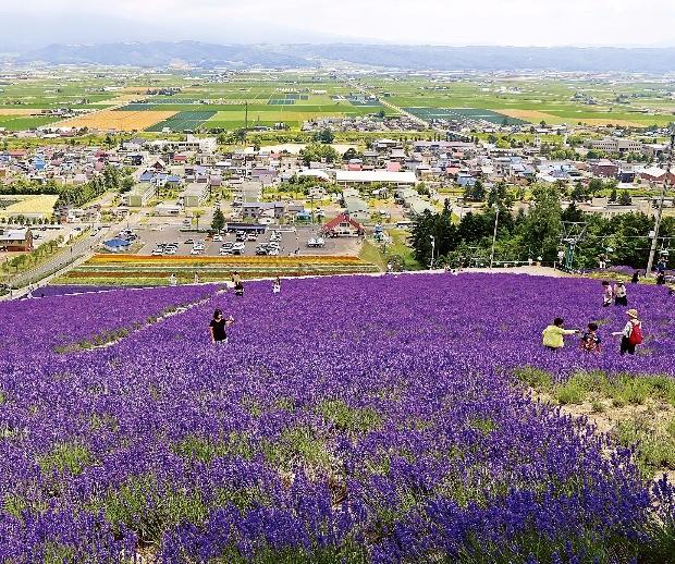 라벤더 꽃이 화사하게 핀 팜 도미타와 후라노 시내 모습.