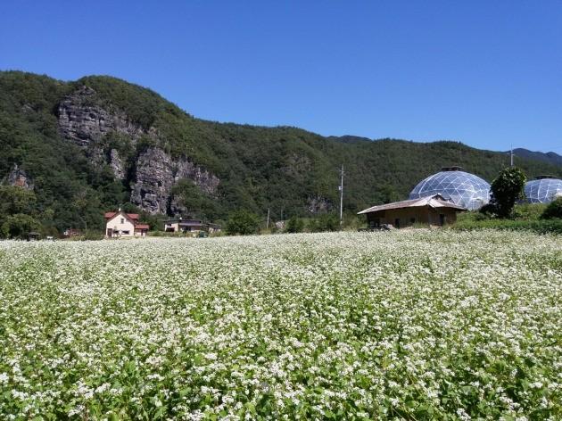 메밀밭과 마을 전경