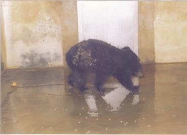 반달가슴곰 '으뜸이' 반입 당시 모습(1991년)  사진제공=서울시