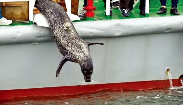 지난 25일 백령도 인근 바다에 방류되고 있는 점박이물범 '복돌이'.