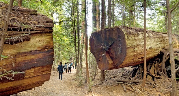 쓰러진 나무를 잘라 길을 낸 훔볼트 주립공원 록펠러 포레스트