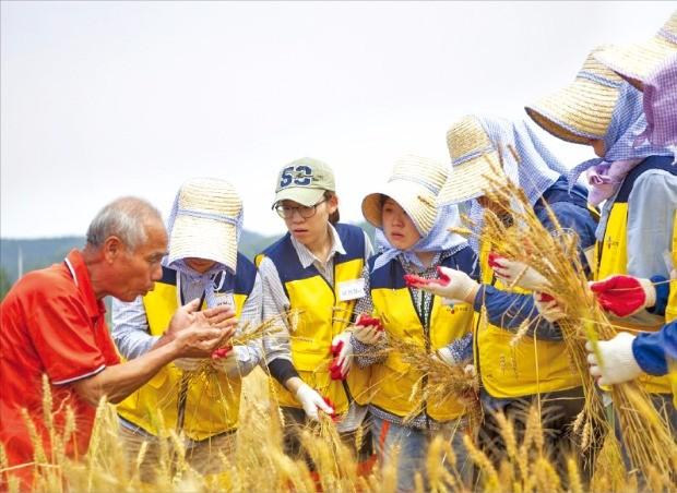 CJ푸드빌 농가탐방봉사단이 '계절밥상'에 앉은뱅이 밀을 공급하는 농가를 찾아  밀 수확을 돕고 있다. CJ푸드빌 제공