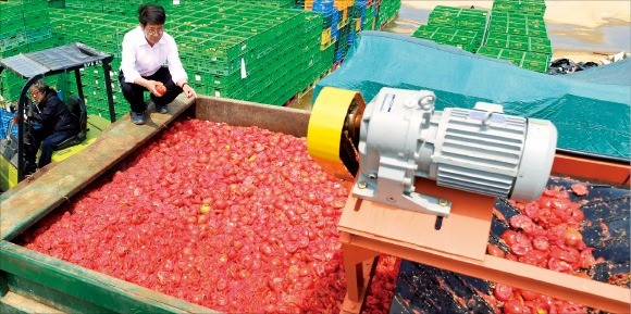 팜한농(옛 동부팜한농)이 농민들의 반대에 부딪혀 토마토 재배사업을 접은 2013년 5월 직원들이 토마토를 분쇄기로 폐기하고 있다. 한경DB