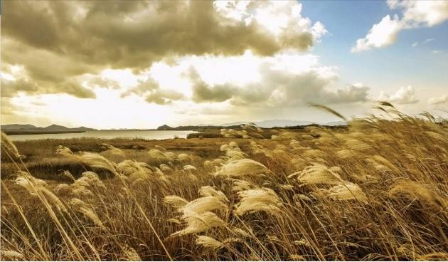 전남 해남군에 있는 고천암호의 갈대밭