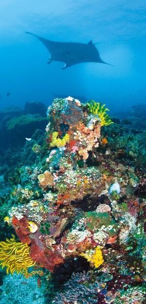 코모도 바다에서 다이빙을 하면 가오리과 물고기 만타(쥐가오리)를 볼 수 있다.