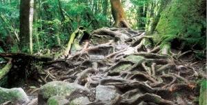 얽혀있는 삼나무 뿌리.