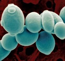 과학으로 '막걸리 맛' 분석…효모 표준 게놈지도 나온다