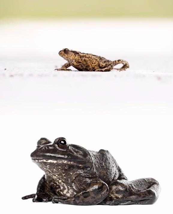 두꺼비와 황소개구리 (위에서부터) /사진=게티이미지뱅크 제공