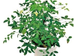 [전문가코너] 미세먼지와의 전쟁…공기정화 식물 '남천' 거실에 두세요