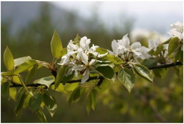 산돌배나무. 출처-국립생물자원관 생물다양성정보