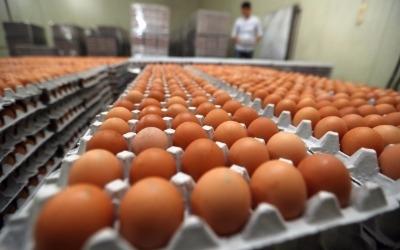 '살충제 계란' 농장 7곳으로 확대… 주요 유통업체는 판매 재개
