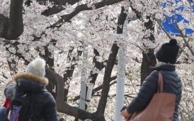 """""""벚꽃 보니 가슴이 뻥 뚫려요""""… 여의도 벚꽃축제 인파 북적"""