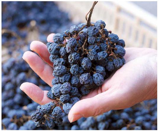 사진=  포도를 자연적으로 말려 당도를 높이는 아파시멘토 방식으로 만들어지는 아마로네 와인에 쓰이는 마른 포도 모습.