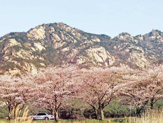 월출산 앞에 벚꽃이 활짝 피어있다.