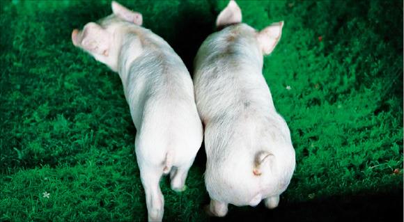 성별과 월령이 같은 두 돼지. 왼쪽은 정상, 오른쪽은 마이오스타틴 유전자 결여 돼지.