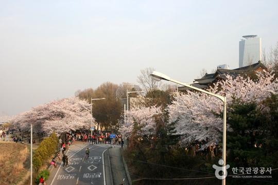 여의도 봄꽃축제 (사진=한국관광공사)