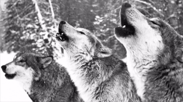 미국 옐로스톤 국립공원에 살고 있는 늑대 무리. 돌베개 제공