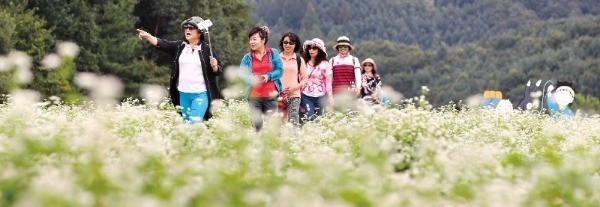 강원 평창군 봉평면 효석문화마을은 매년 9월 무렵 너른 메밀 꽃밭이 펼쳐지는 가을여행의 명소다.