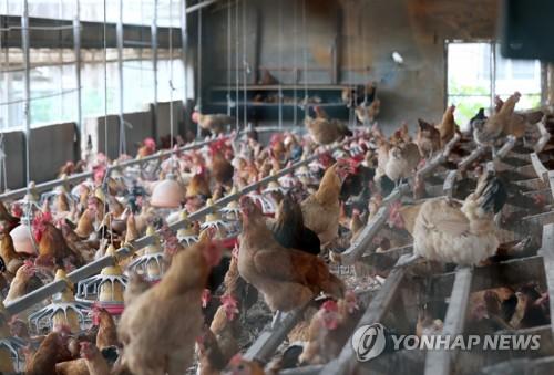 병아리용 계란 낳는 닭에서도 살충제…기준치 15배 초과 검출