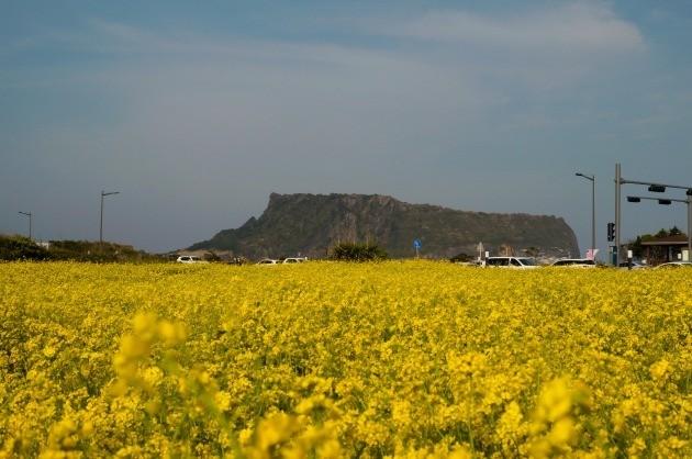 광치기 해변 주변의 소규모 유채꽃 단지에서 바라본 성산 일출봉.