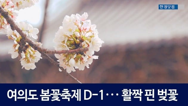 [HK영상] 여의도 봄꽃축제 D-1 ··· 윤중로는 이미 축제 분위기