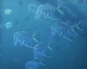 빛의 편광 현상을 이용해 물속 포식자의 눈에 띄지 않게 위장색을 한 어류.