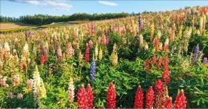 화려한 꽃으로 가득한 '후라노 팜 도미타'