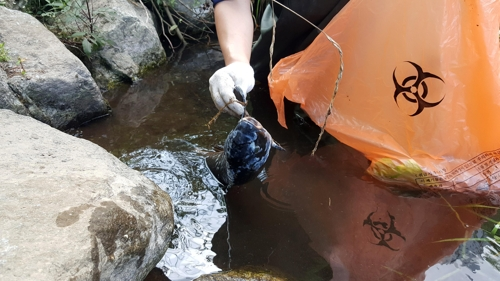 펄펄 끓는 한반도, 폭염에 분당천 물고기 떼죽음