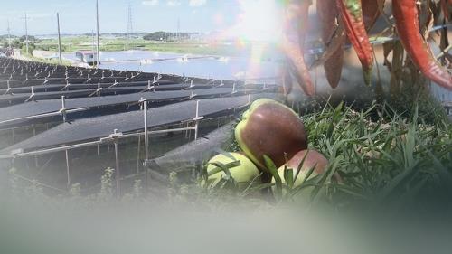 폭염에 추석 물가 벌써 들썩…과일 등 제수품 공급 차질