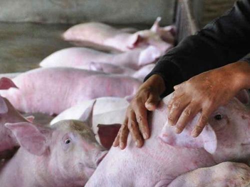 中 돼지전염병, 러시아산서 전파 추정… 관련부처는 함구