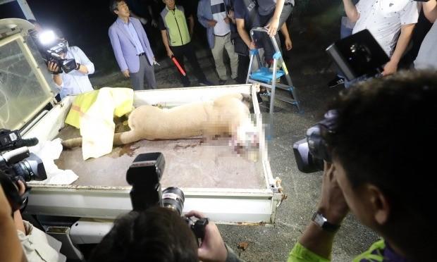 18일 대전 동물원을 탈출한 퓨마가 탈출 4시간30여분만에 사살됐다. 사진은 사살된 퓨마 (사진=연합뉴스)