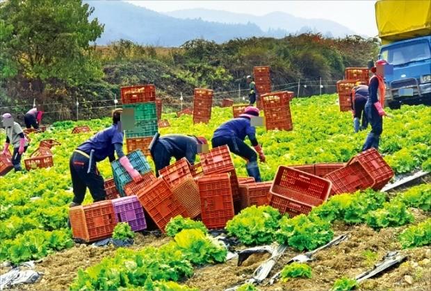 태국에서 온 불법체류자들이 지난 19일 강원 평창군에 있는 한 양상추밭에서 수확 작업을 하고 있다.  /고윤상 기자