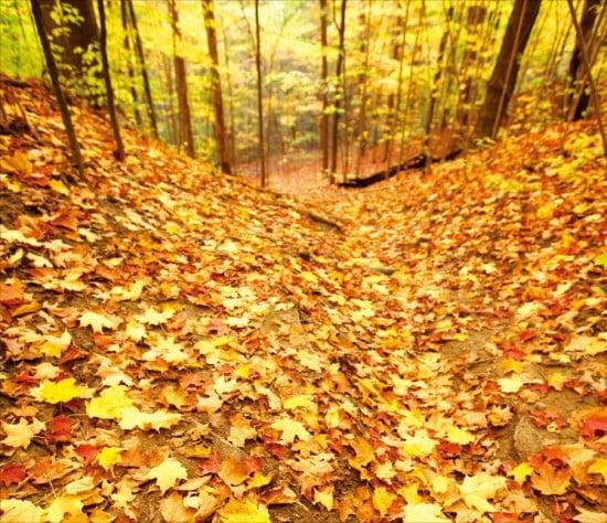 빼곡히 쌓인 메이플 로드의 노랗고 붉은 단풍잎들.