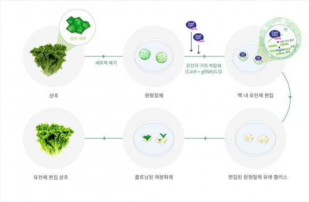 Non-GMO 식물 유전자가위 기술 과정. 지플러스생명과학
