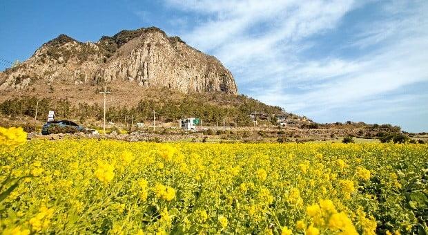 봄의 전령사인 유채꽃이 만발한 제주 산방산 주변 풍경.