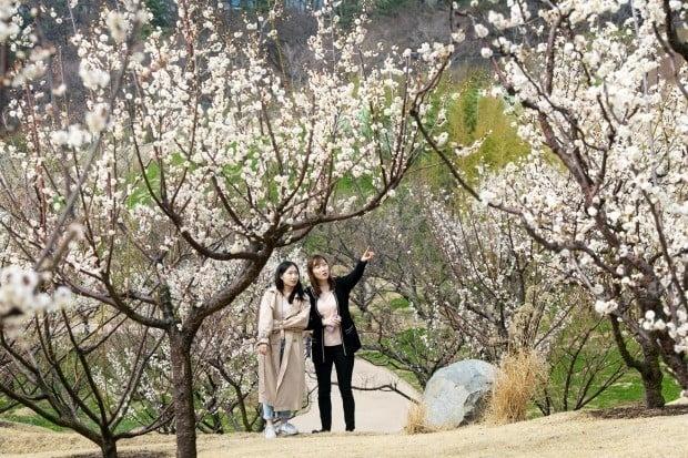 에버랜드, 국내 최대 봄꽃정원 '하늘 매화길' 29일 개장해