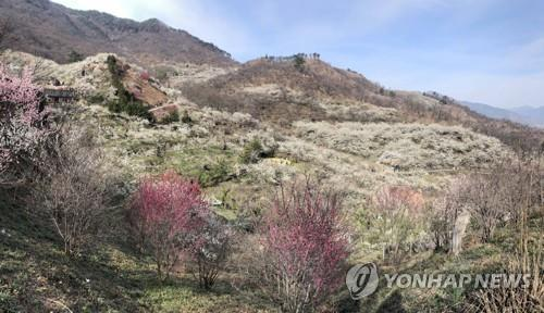 '봄이로구나 봄 봄'…유채꽃·매화 만개한 축제장·관광지 북적