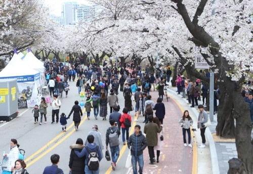 '벚꽃보러 오세요'…여의도 봄꽃축제 4월 5일 개막