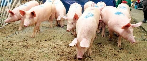 아프리카돼지열병(ASF)의 국내 유입에 대한 우려가 커지고 있다. / 한경DB