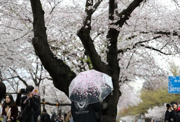 거센 바람과 함께 쏟아진 봄비가 그친 10일 오후 서울 여의도 윤중로를 찾은 시민들이 벚꽃 구경을 하고 있다. 사진=연합뉴스