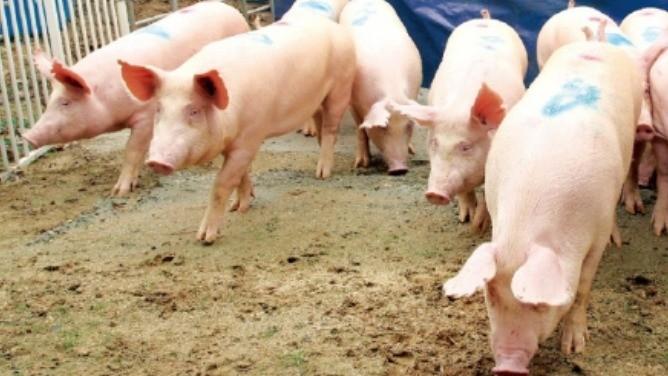 아프리카돼지열병(ASF)이 아시아 지역에 확산되면서 국내 양돈 농가의 근심도 커지고 있다. 2011년 구제역 대란으로 사육돼지를 모두 살처분한 경기 이천시의 양돈 농가가 돼지 10여 마리를 새로 들여 놓는 모습.  /한경DB