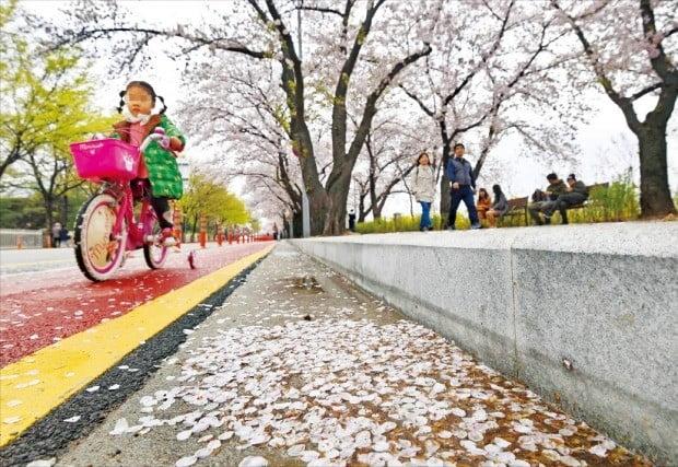 강풍에 비…흩날리는 벚꽃