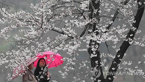 전국 요란한 봄비…돌풍, 천둥·번개에 벚꽃 '우수수'
